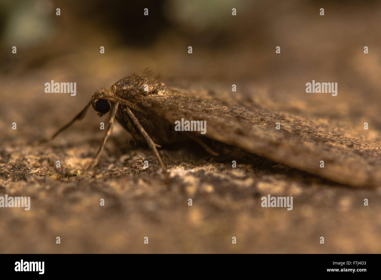 Winter moth (Operophtera brumata) - Stock Image