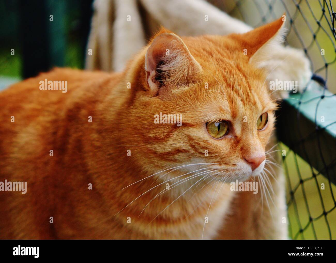 Close-up of a ginger tabby cat outside - Stock Image