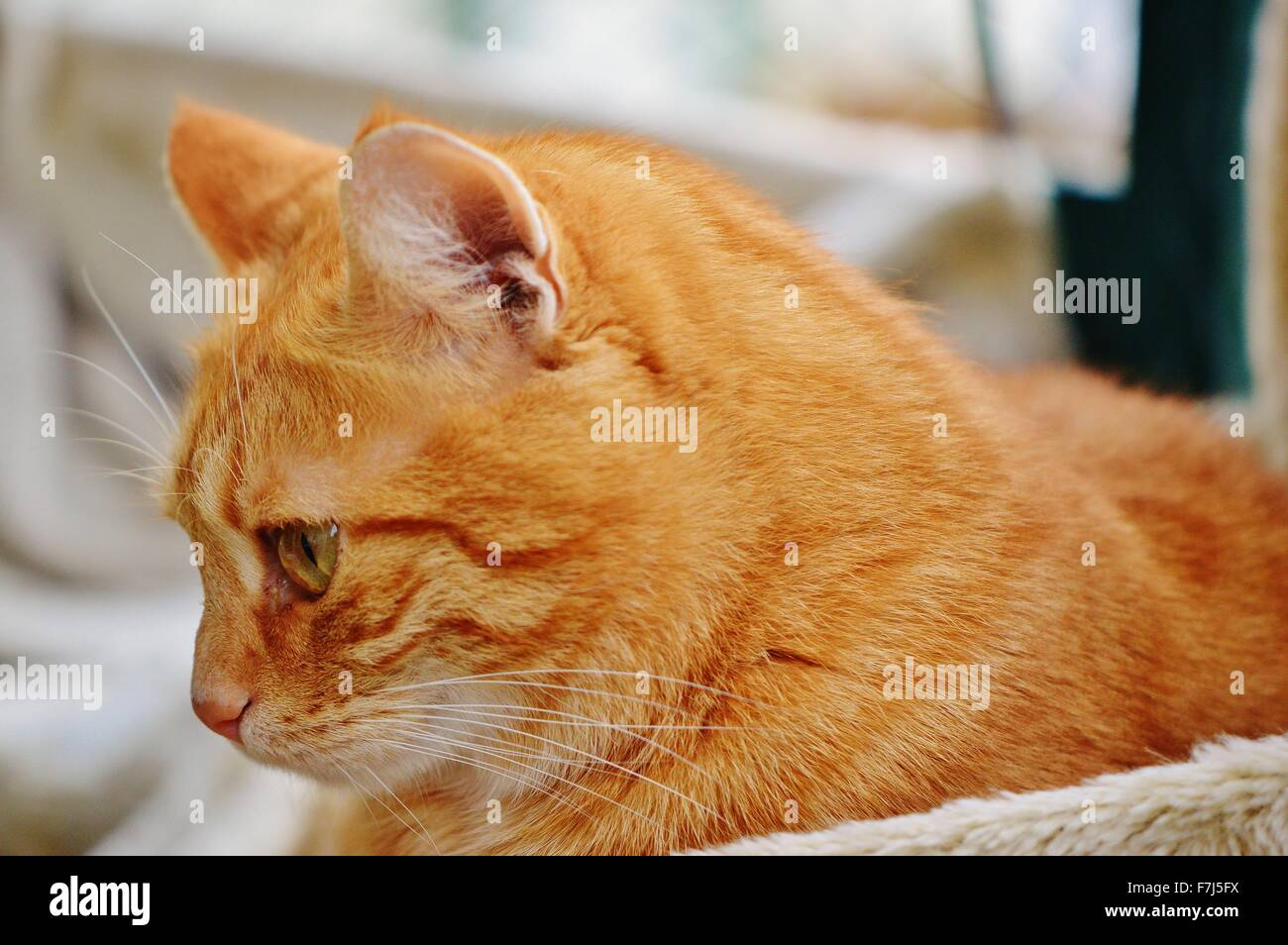Side view of a ginger tabby cat - Stock Image