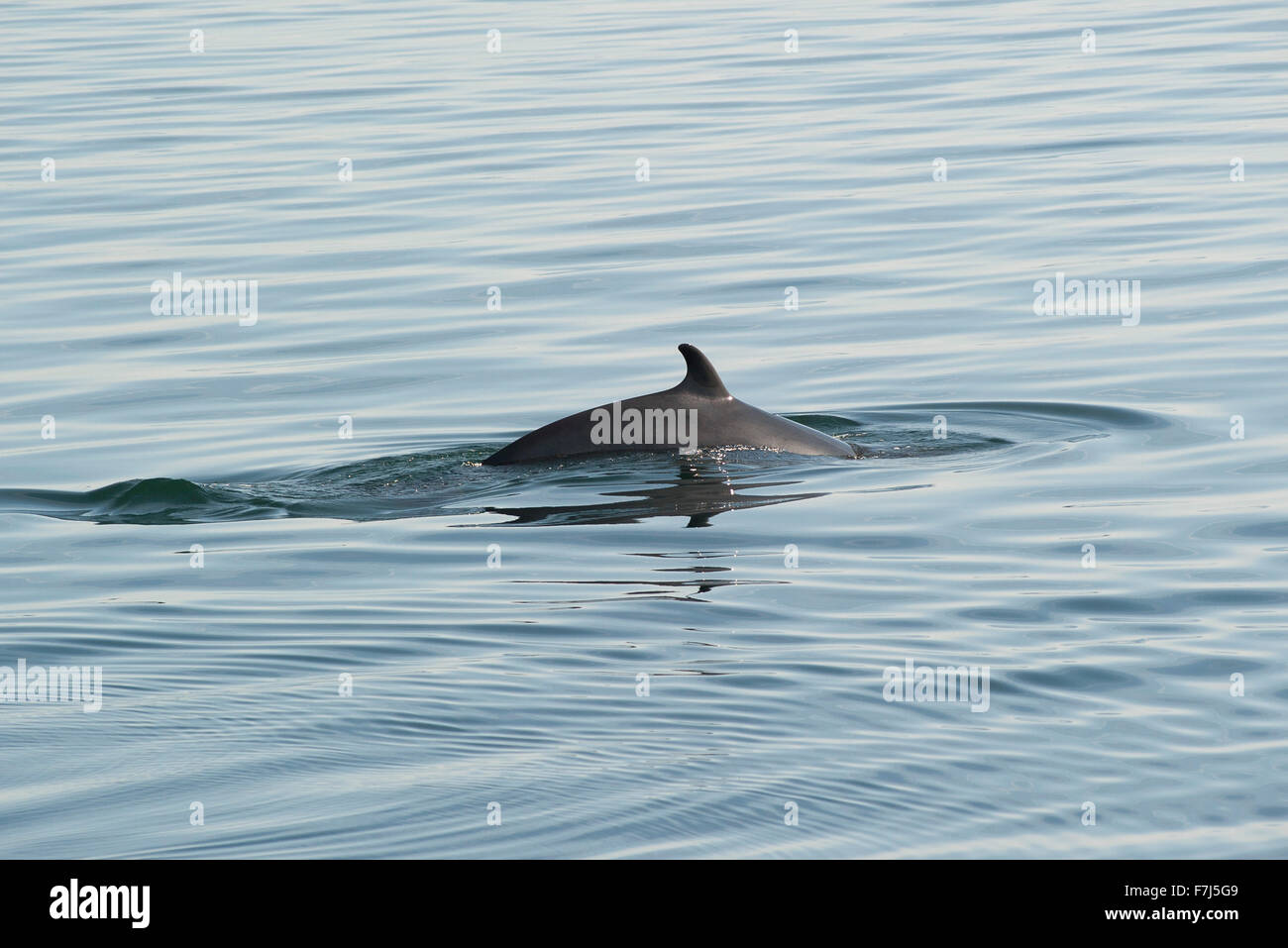 Dolphin swimming in water - Stock Image