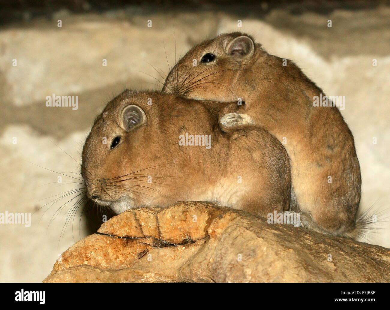 Pair of cuddling North African Common Gundis (Ctenodactylus gundi) - Stock Image