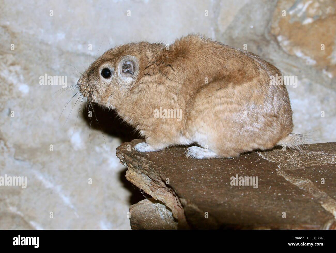 North African Common Gundi (Ctenodactylus gundi) - Stock Image