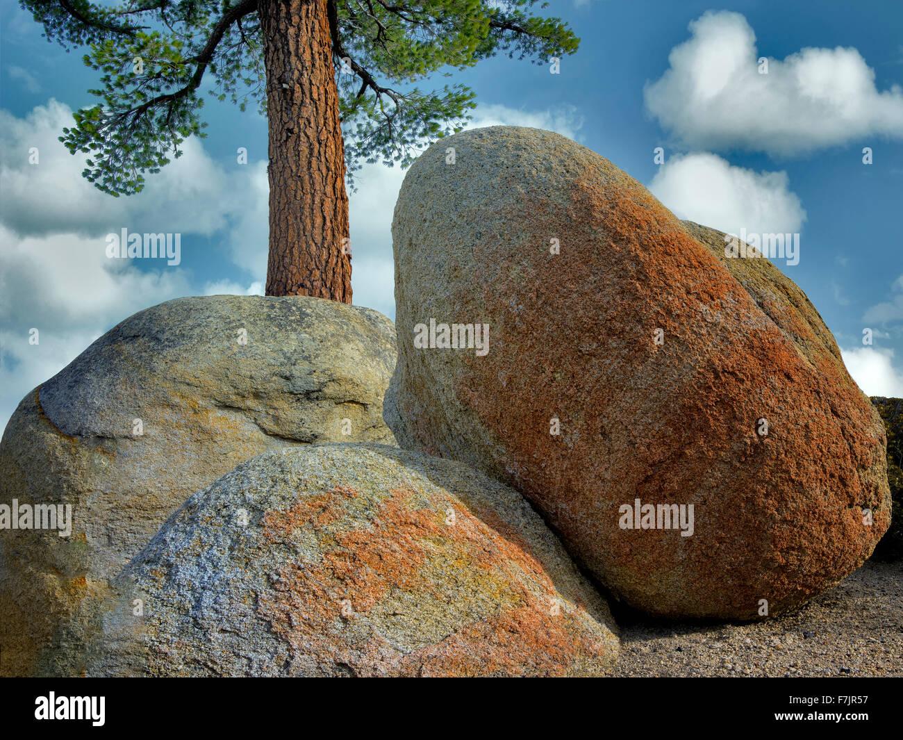Ponderosa Pine tree and colorful granite glacial erratic boulders. Lake Tahoe, California - Stock Image