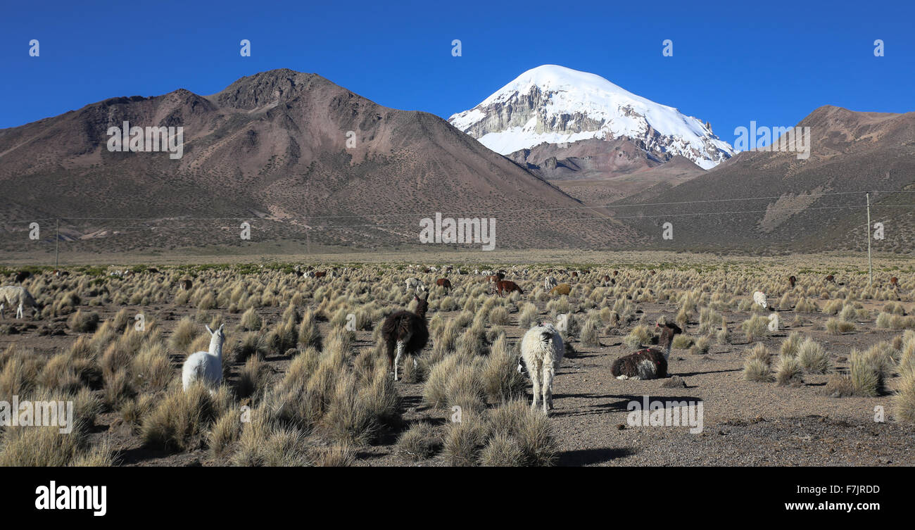 The Andean landscape with herd of llamas, with the Sajama volcano on background. - Stock Image