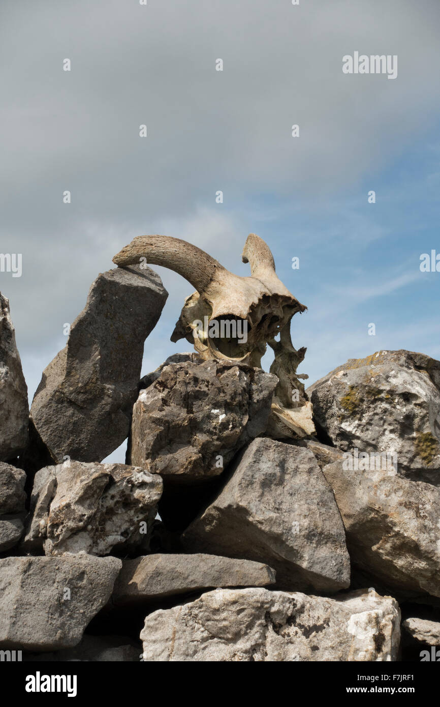 Macabre & sinister! Sheep's Skull (curly horns and large eye sockets) sits on top of a limestone, dry stone - Stock Image