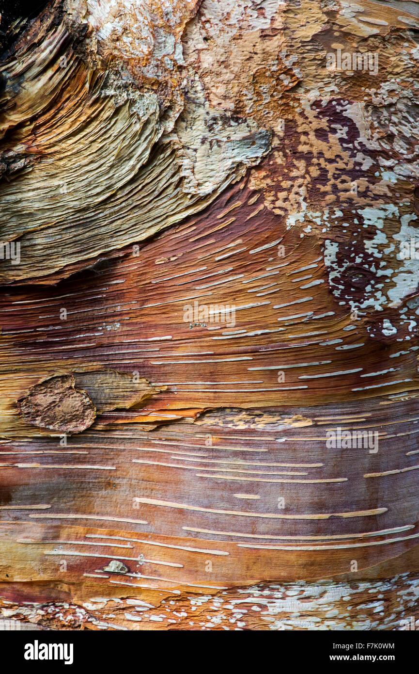Betula Albosinensis 'Red Panda'. Chinese red birch tree bark Stock Photo