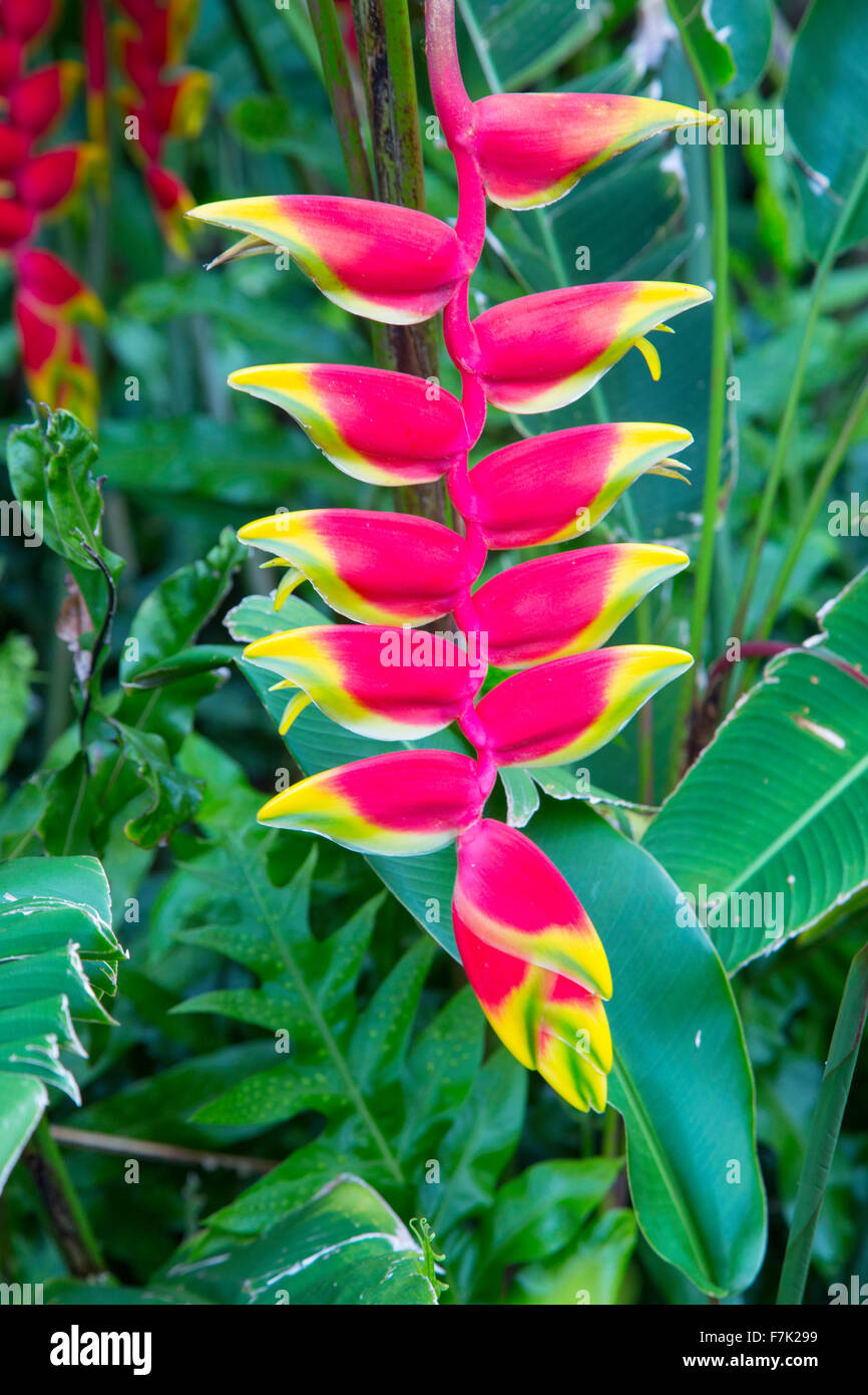 Heliconia, Flower, Hawaii - Stock Image
