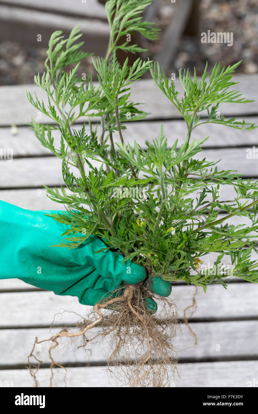 Annual Ragweed, Ragweed, Ambrosie, Ambrosia, Beifußblättriges Traubenkraut, Aufrechtes Traubenkraut, Ambrosia artemisiifolia Stock Photo