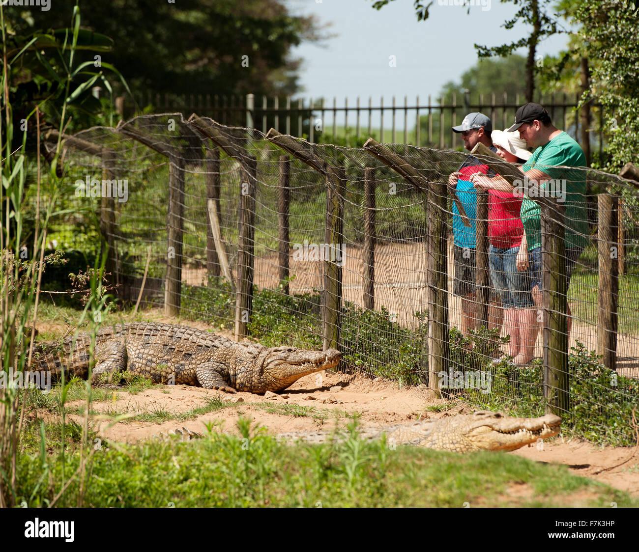 Nile crocodiles at the Crocworld crocodile farm  at Scottburgh, on the South Coast of KwaZulu Natal, South Africa. - Stock Image
