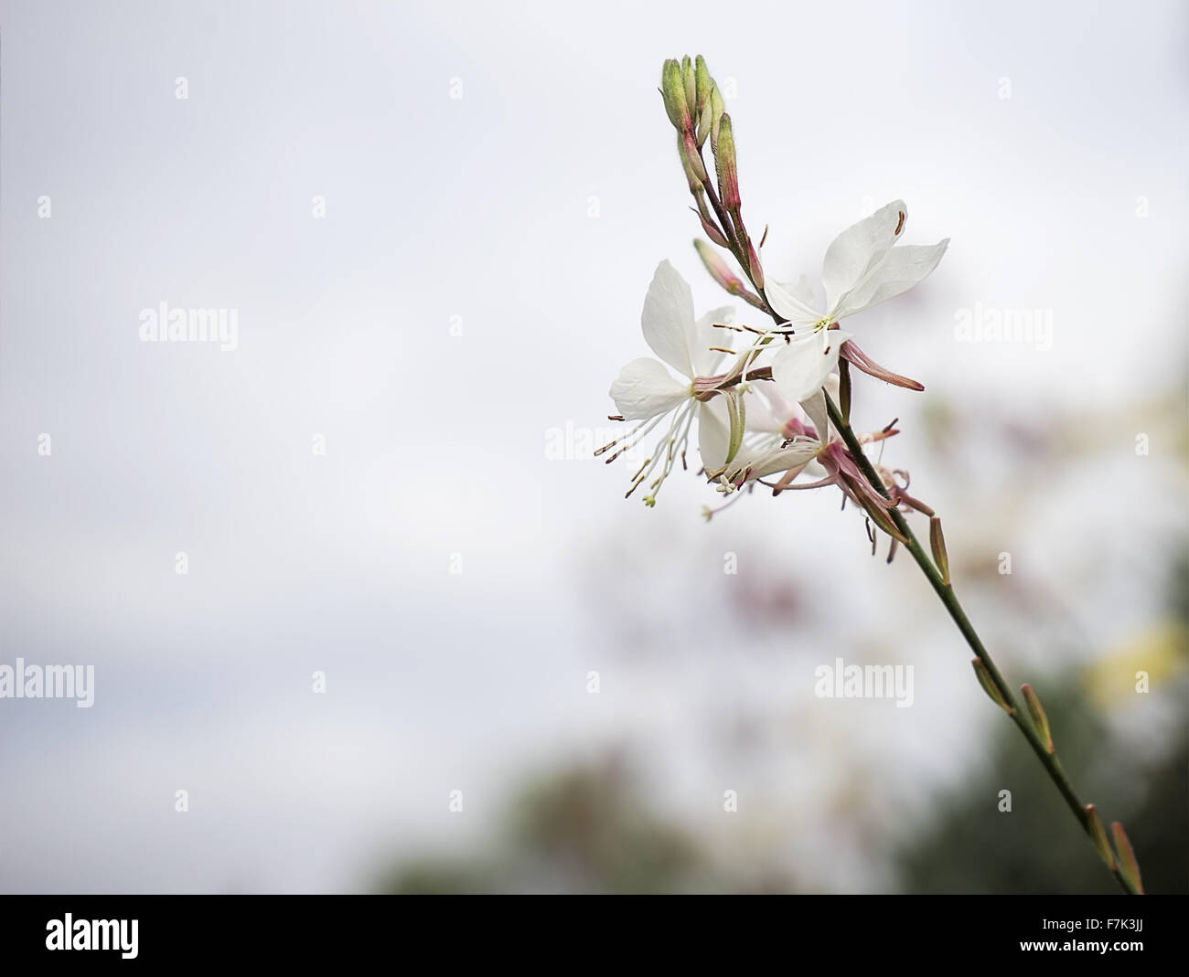 Gaura flower or butterfly bush with neutral copy-space background suitable for mourning condolence and sympathy - Stock Image