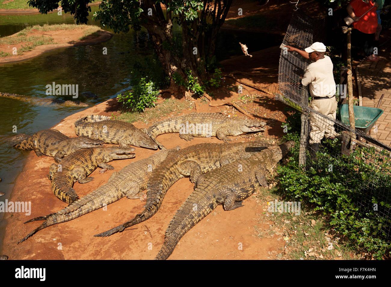 Nile crocodiles are fed chickens at the Crocworld crocodile farm  at Scottburgh,  KwaZulu Natal, South Africa - Stock Image