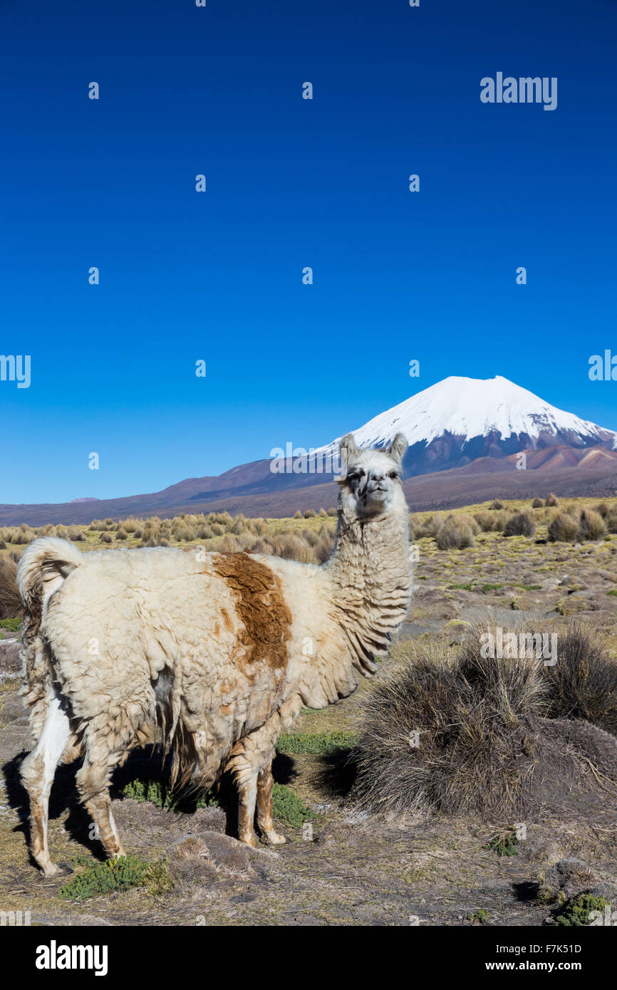 The Andean landscape with herd of llamas, with the Parinacota volcano on background. Stock Photo
