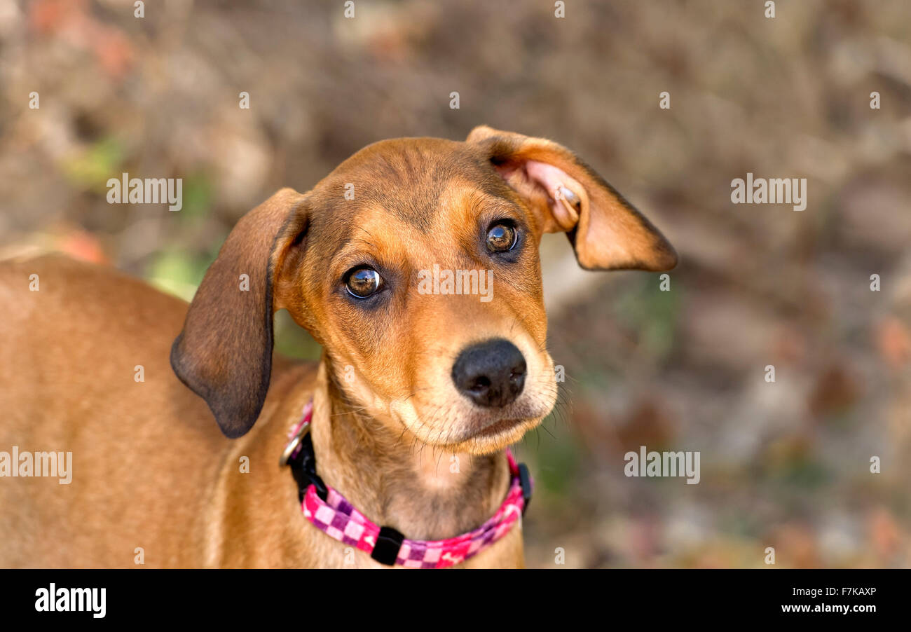 Best Cute Canine Brown Adorable Dog - cute-dog-face-is-an-adorable-brown-puppy-dog-with-big-brown-eyes-and-F7KAXP  Graphic_364298  .jpg