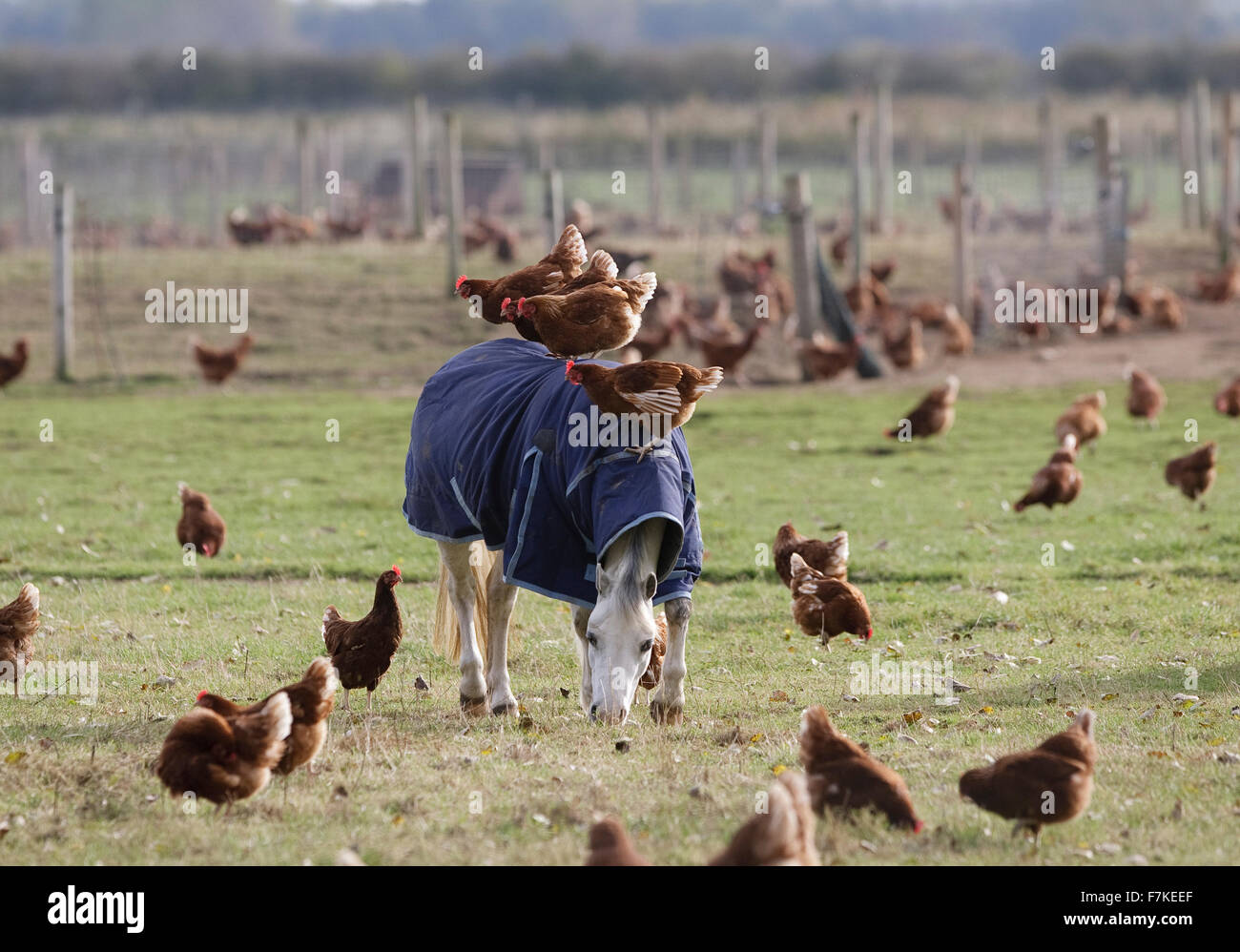 Chickens riding on a pony - Stock Image