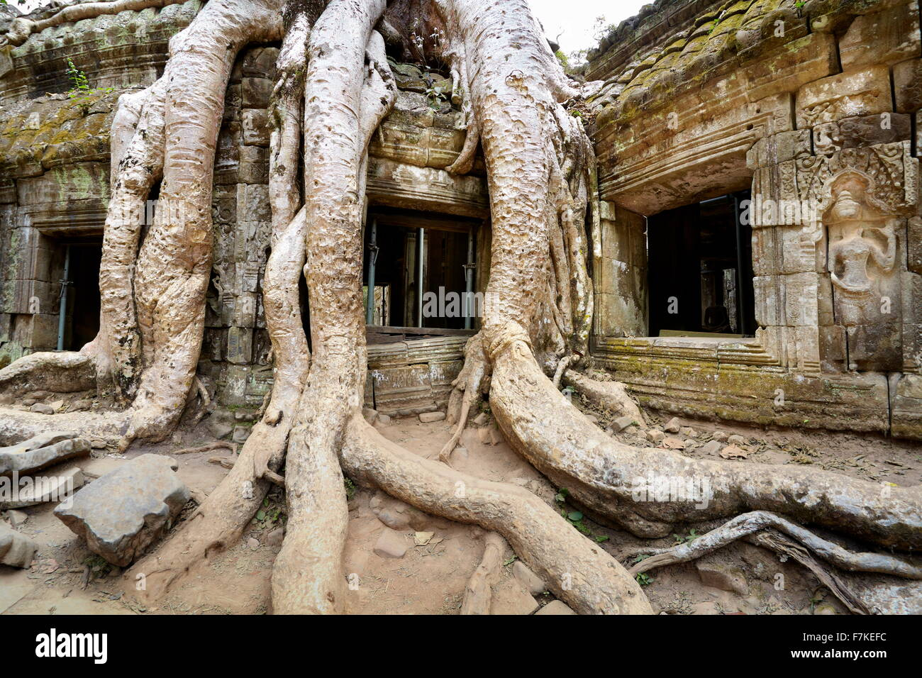 Roots of a giant tree overgrowing fragments of the Temple Ta Prohm, Angkor, Cambodia, Asia - Stock Image