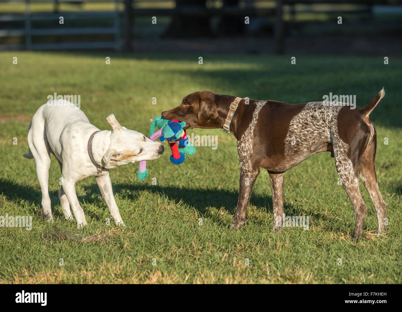 Two dogs tug with toy in grass yard - Stock Image