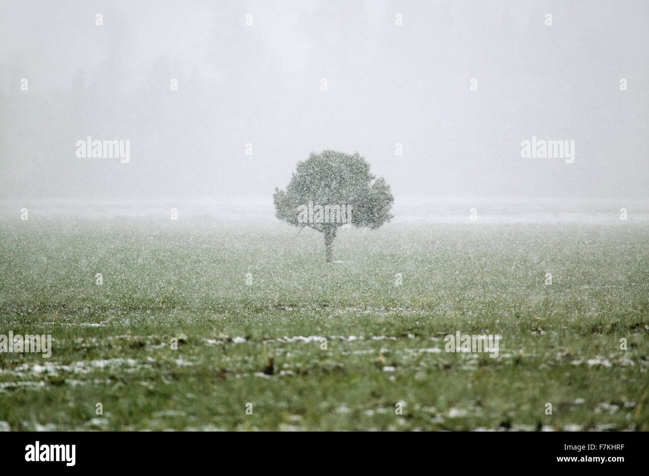 A lone tree standing in the midst of a snow storm in the high-desert of Lockwood Valley, Las Padres National Forest, - Stock Image