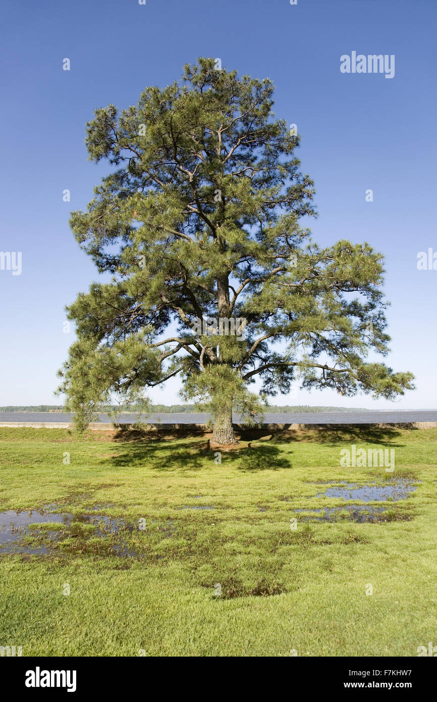 Tree growing on the precise spot on the James River, Jamestown, Virginia where the first English Colonists came - Stock Image
