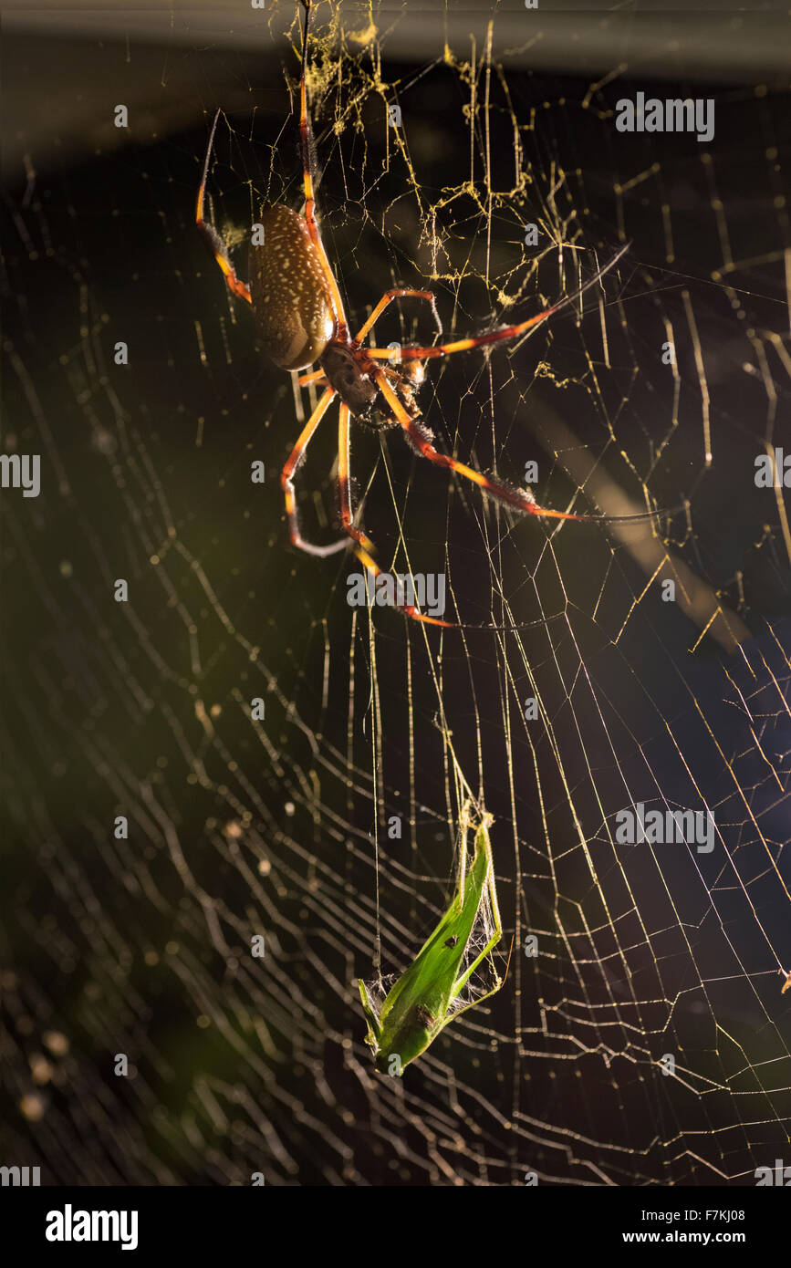 Banana Spider with leaf hopper in web. - Stock Image