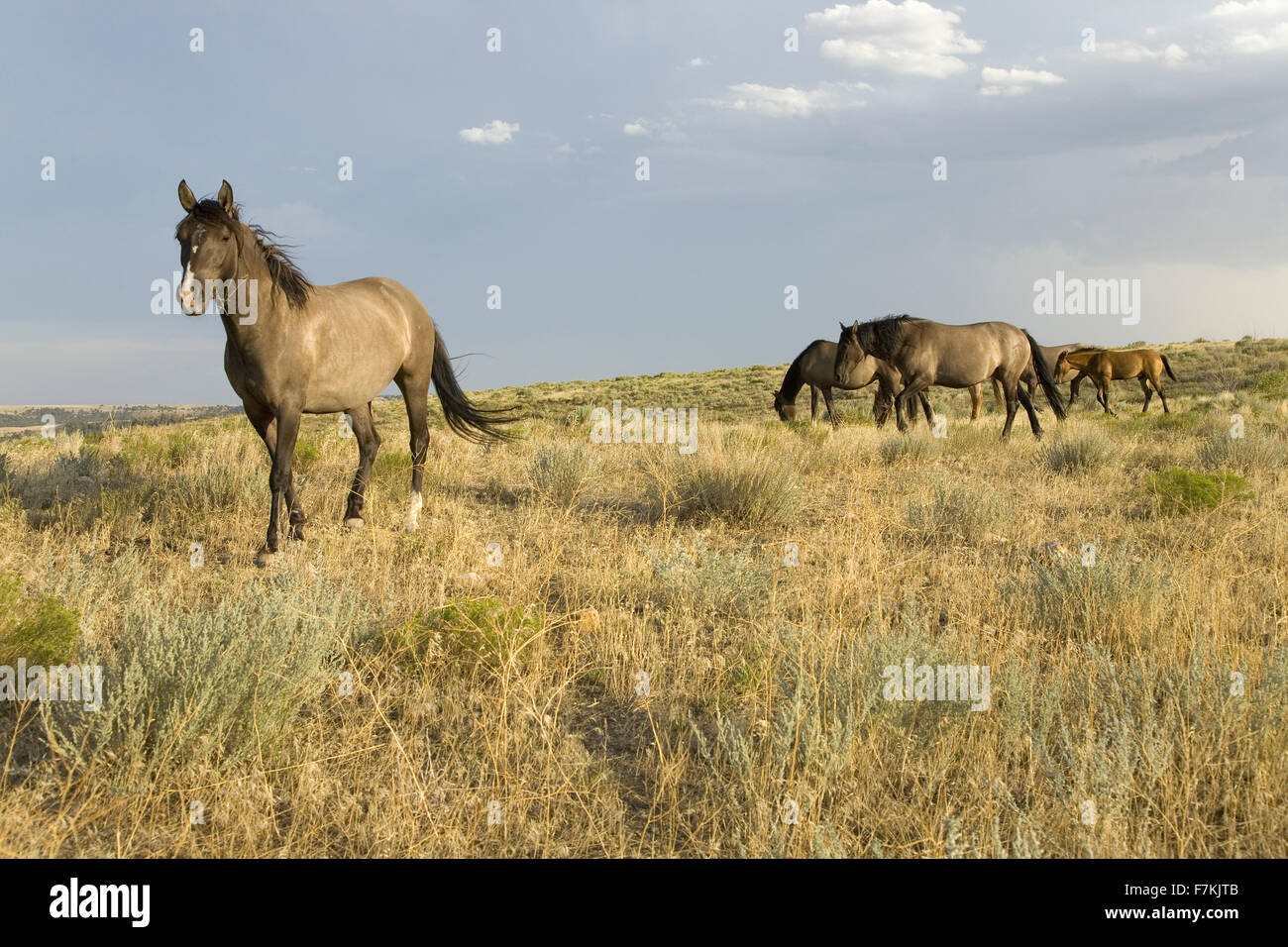 Wild horses at the Black Hills Wild Horse Sanctuary, the home to America's largest wild horse herd, Hot Springs, - Stock Image