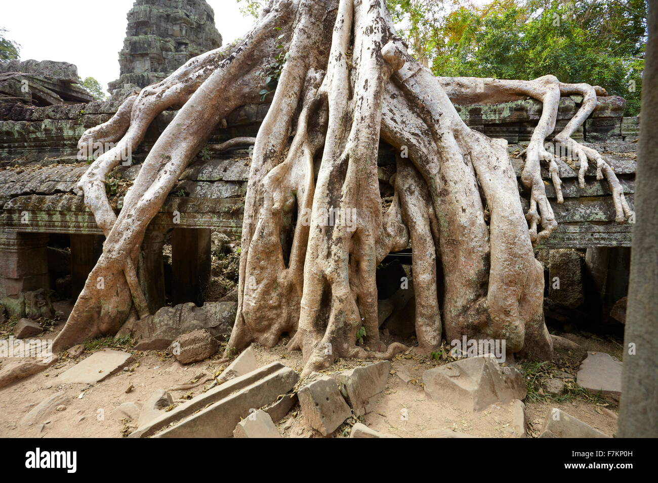 Roots of a giant tree overgrowing ruins of Ta Prohm Temple, Angkor, Cambodia, Asia - Stock Image