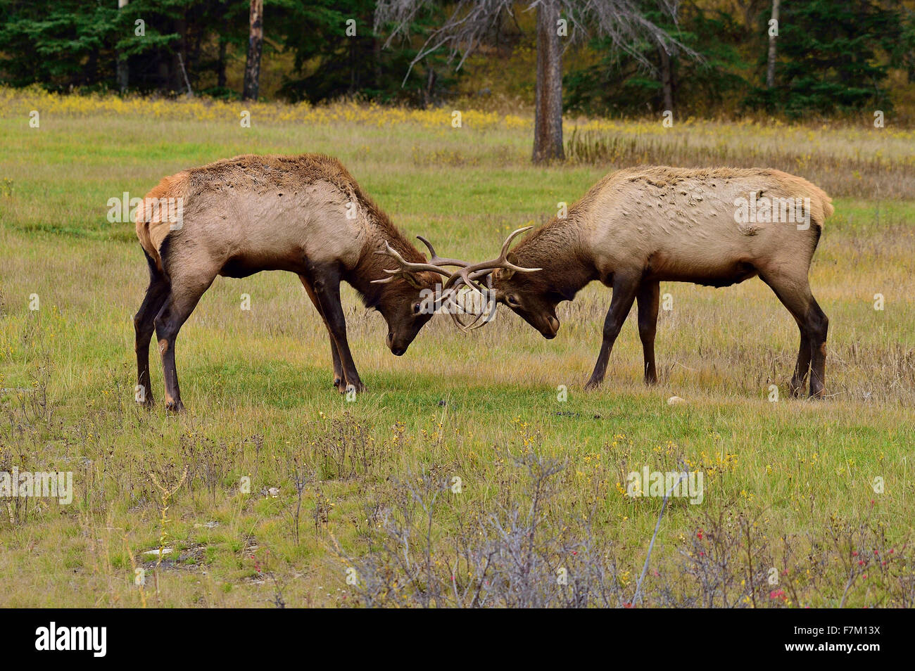 Two bull elk  Cervus elaphus; pushing and shoving each other - Stock Image