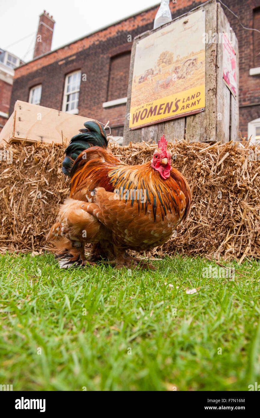 Free running chicken with land girls poster in background - Stock Image