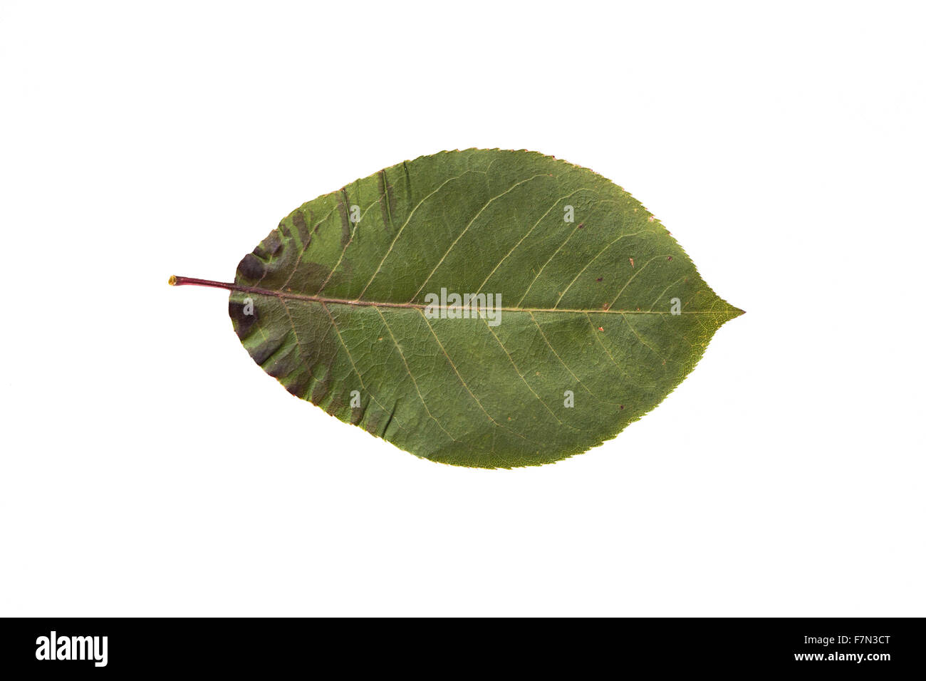 dry fallen chokeberry tree leaf Stock Photo