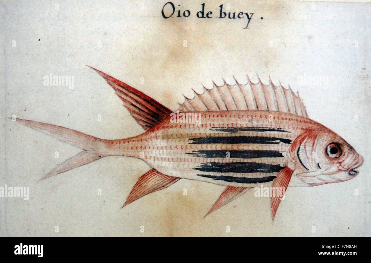 Squirrel fish (Soldier fish), by John White (created 1585-1586). - Stock Image