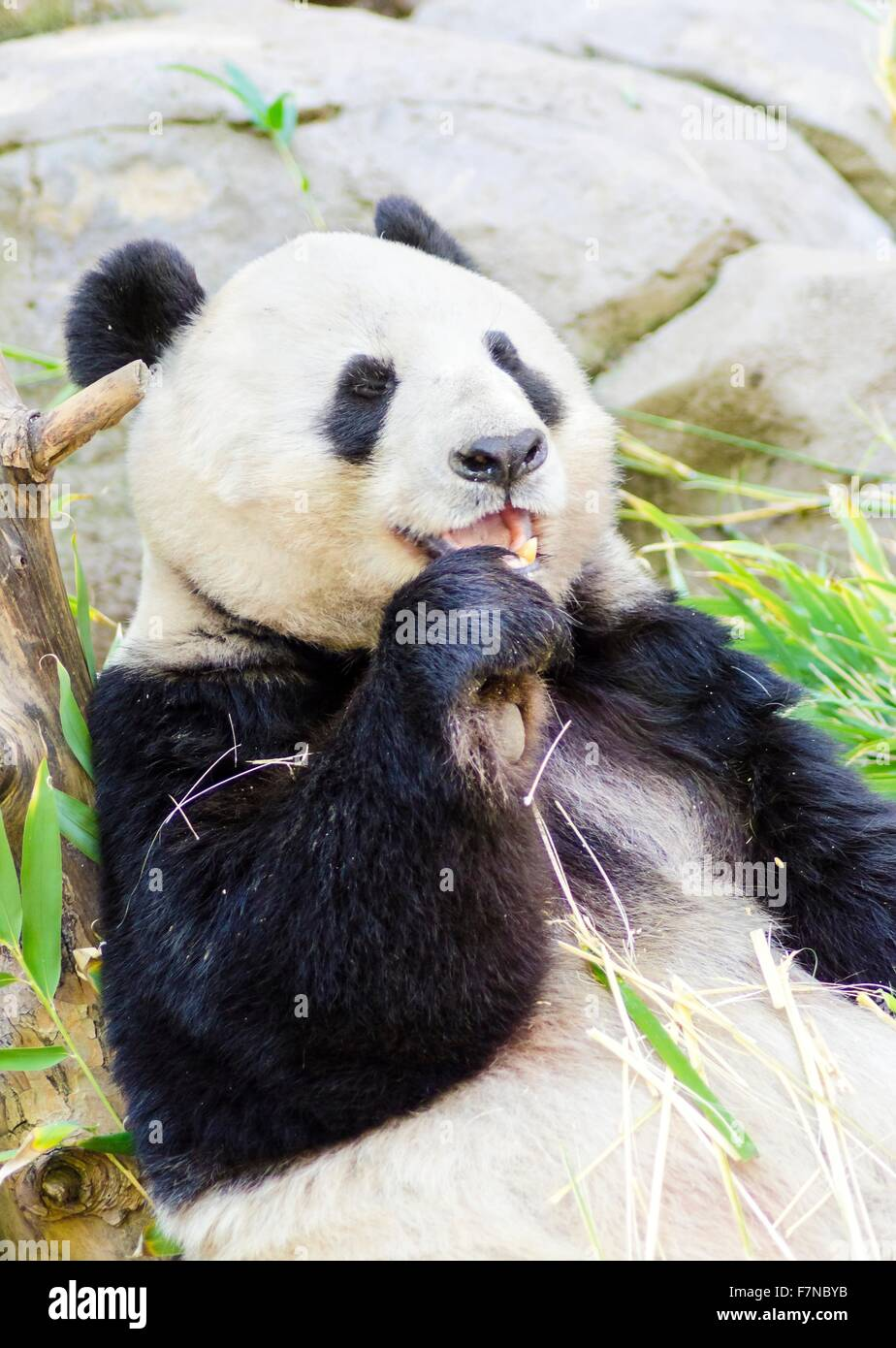 A cute adorable lazy adult giant Panda bear eating bamboo. The Ailuropoda melanoleuca is distinct by the large black - Stock Image