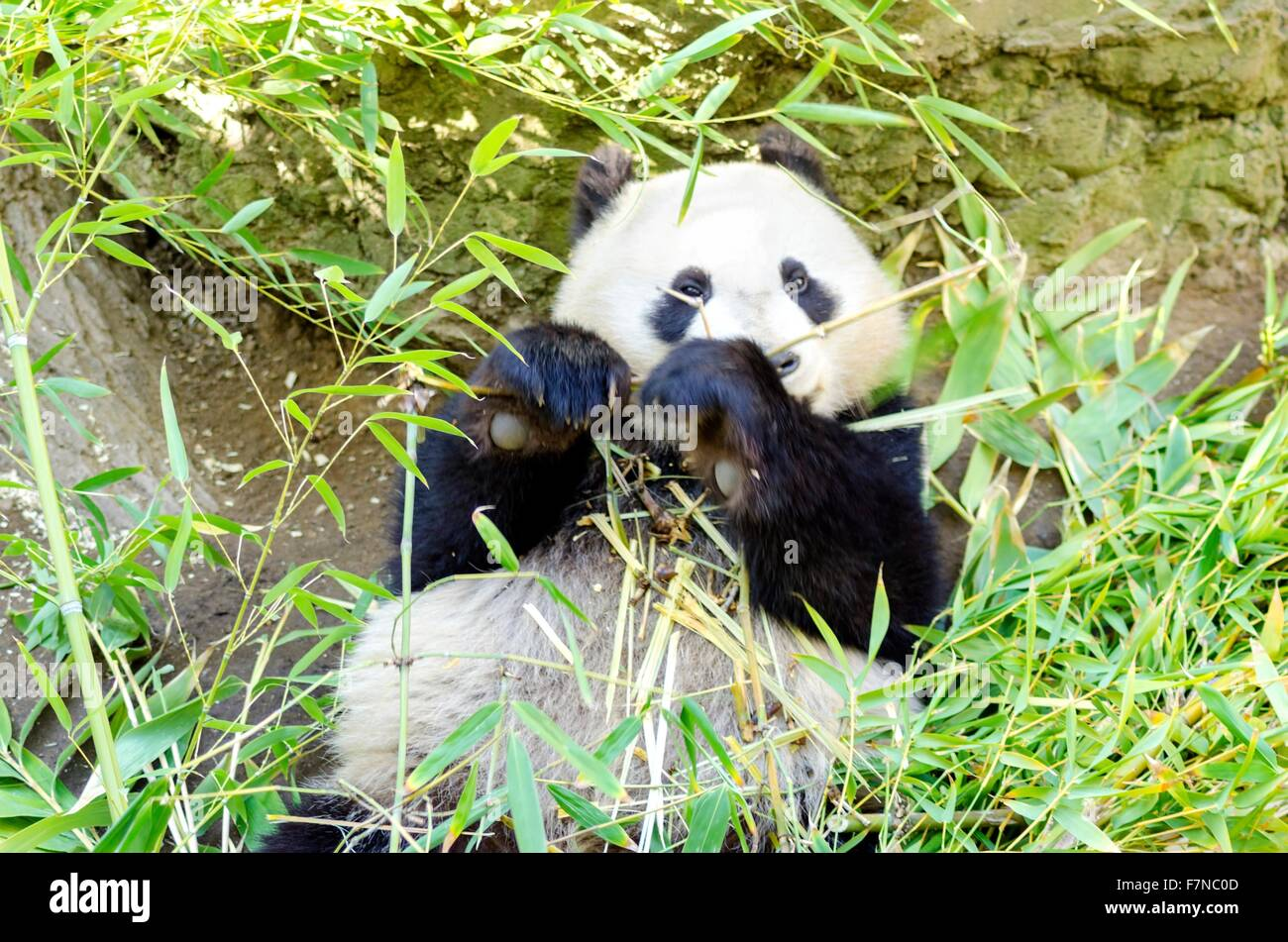 A cute adorable lazy baby giant Panda bear eating bamboo. The Ailuropoda melanoleuca is distinct by the large black - Stock Image