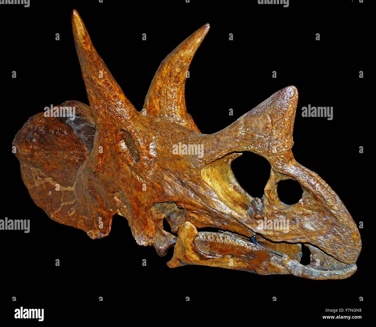 Skull of a Triceratops, one of the last dinosaurs to exists. - Stock Image