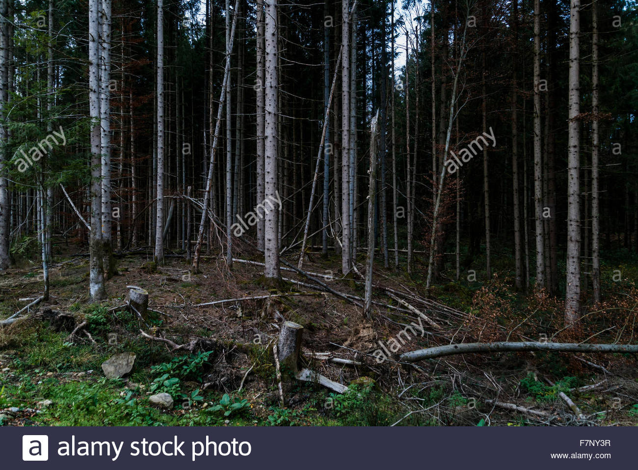 Germany, Bavaria, spruces and beeches - Stock Image