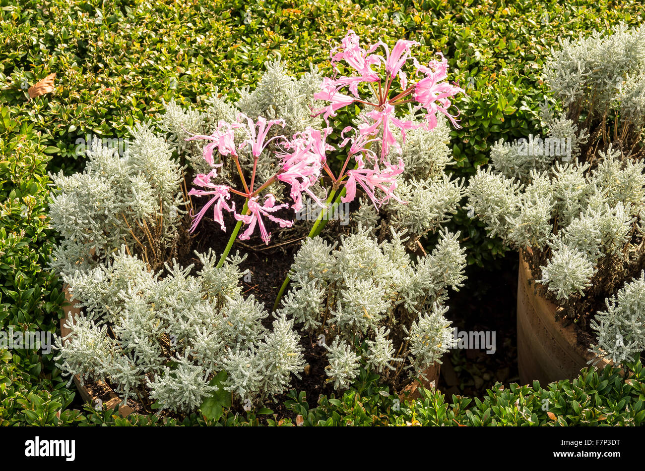 Pink nerines enclosed withing santolina and box hedging form unusual plant association - Stock Image