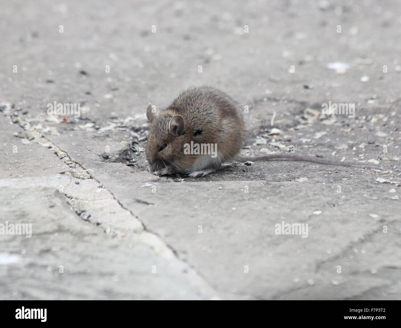Sickly yellow necked field mouse (Apodemus flavicollis) eating seeds on a limestone patio - Stock Image