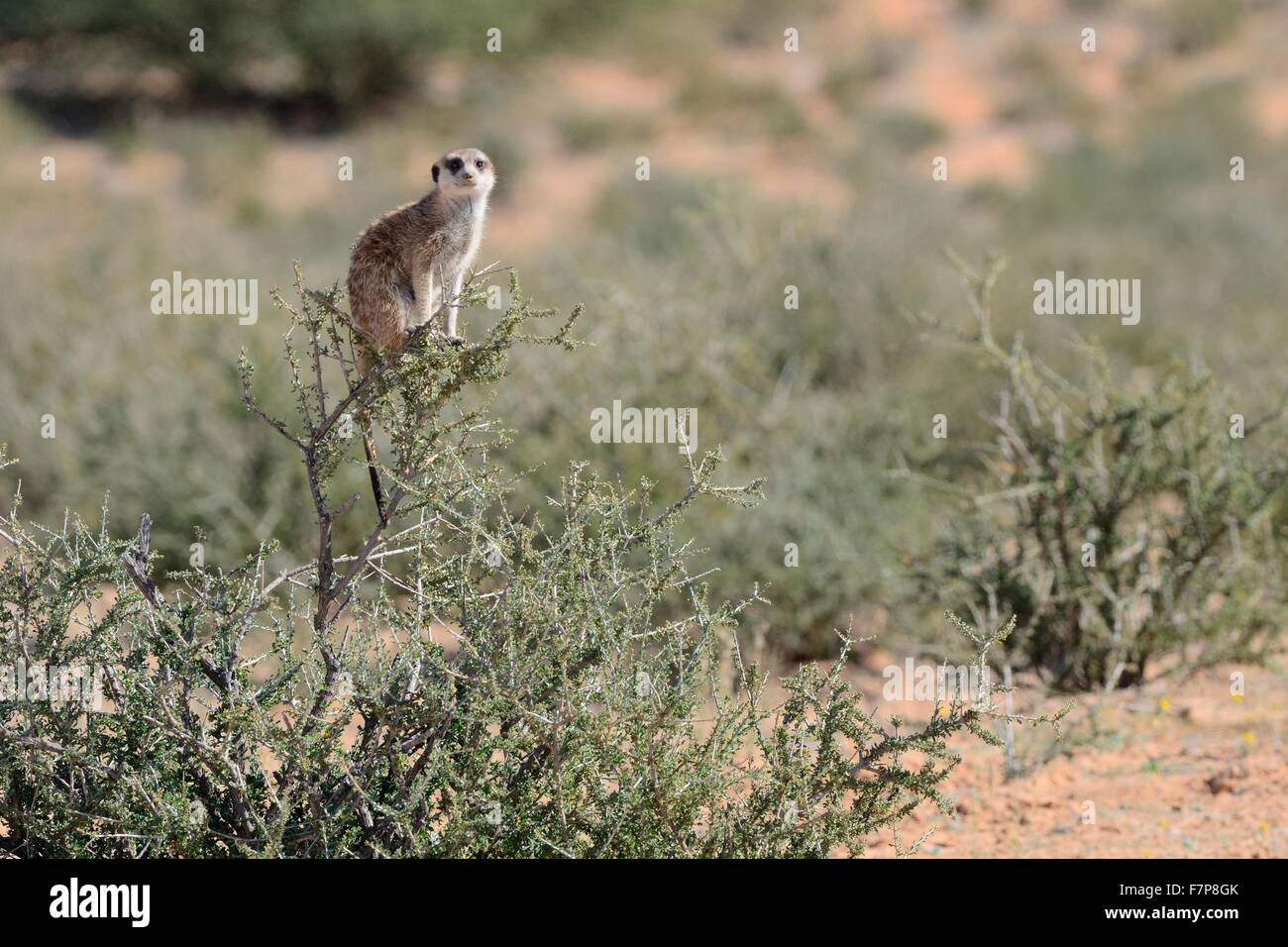 Meerkat (Suricata suricatta), adult female standing at the top of a bush,Kgalagadi Transfrontier Park,Northern Cape,South - Stock Image