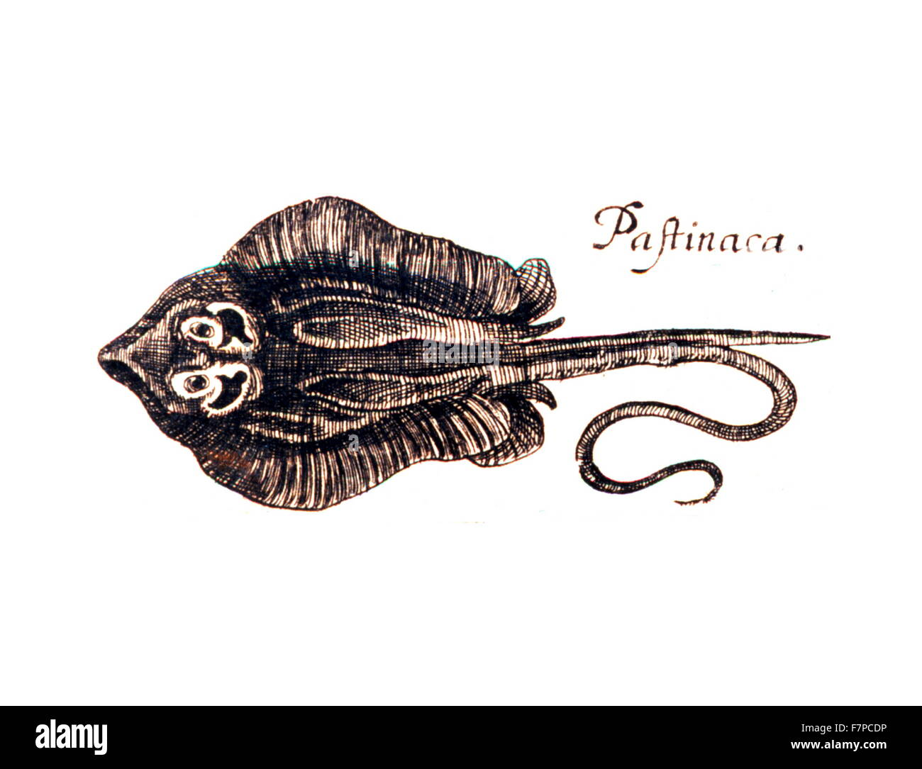 Pastinaca fish illustration from 'Specula physico-mathematico-historica' by Johann Zahn.1696 - Stock Image