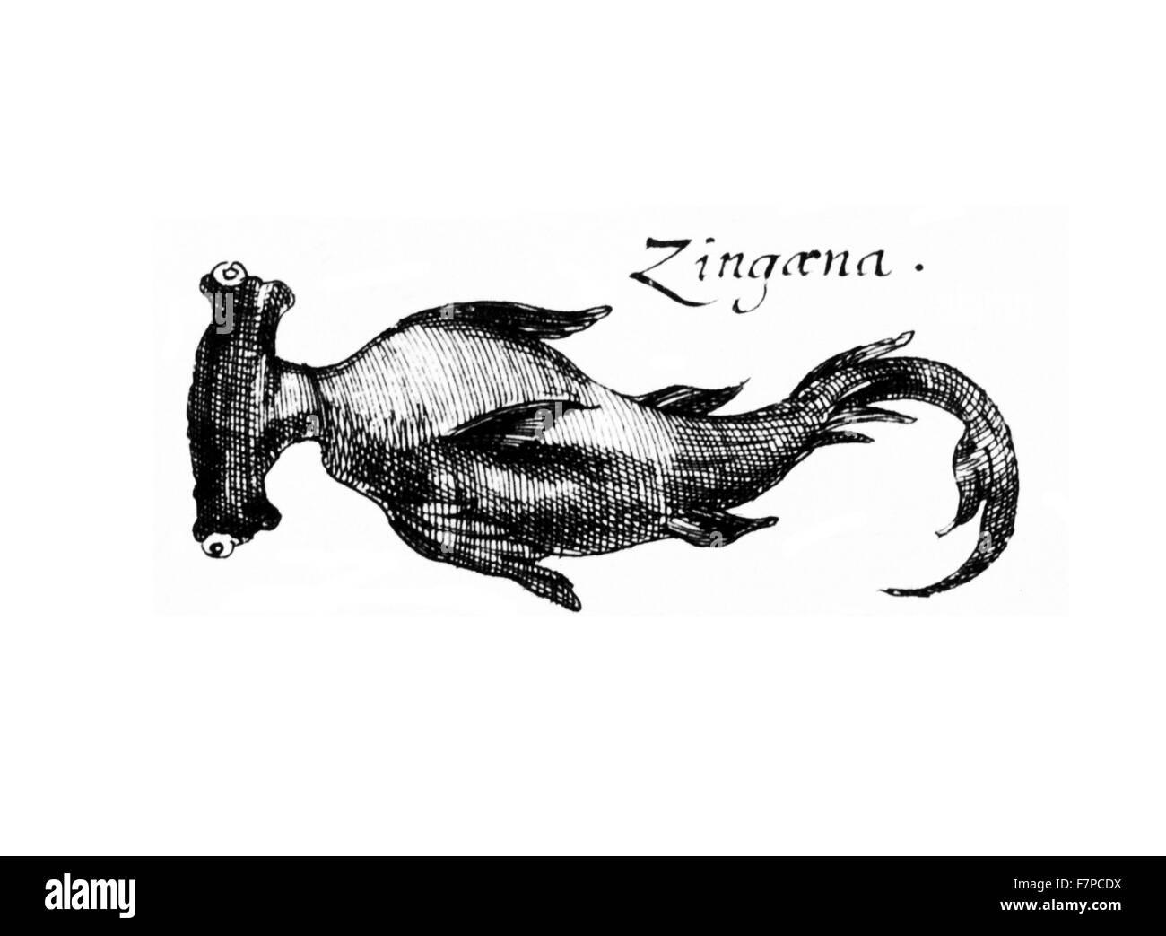 Zingaena fish illustration from 'Specula physico-mathematico-historica' by Johann Zahn.1696 - Stock Image