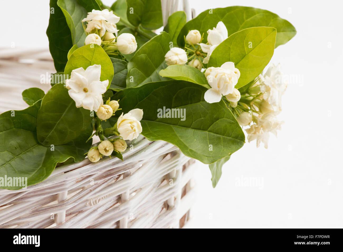 Jasmine flowers arabian jasmine jasminum sambac in a basket stock jasmine flowers arabian jasmine jasminum sambac in a basket izmirmasajfo