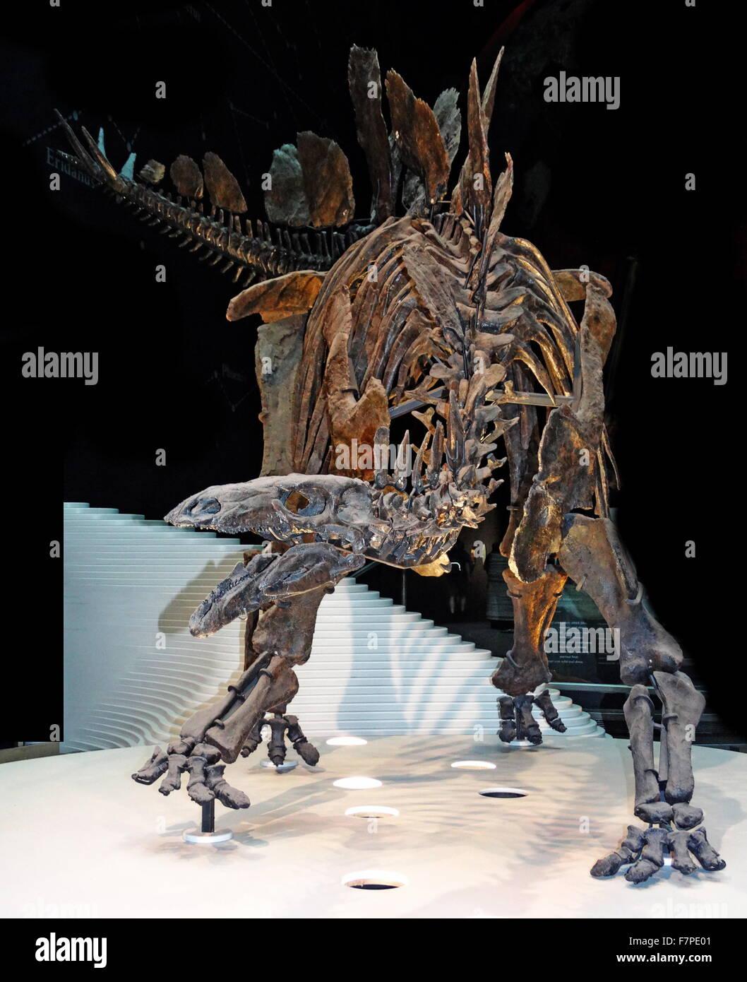 Model of a Stegosaurus skeleton - a genus of armored stegosaurid dinosaur - Stock Image