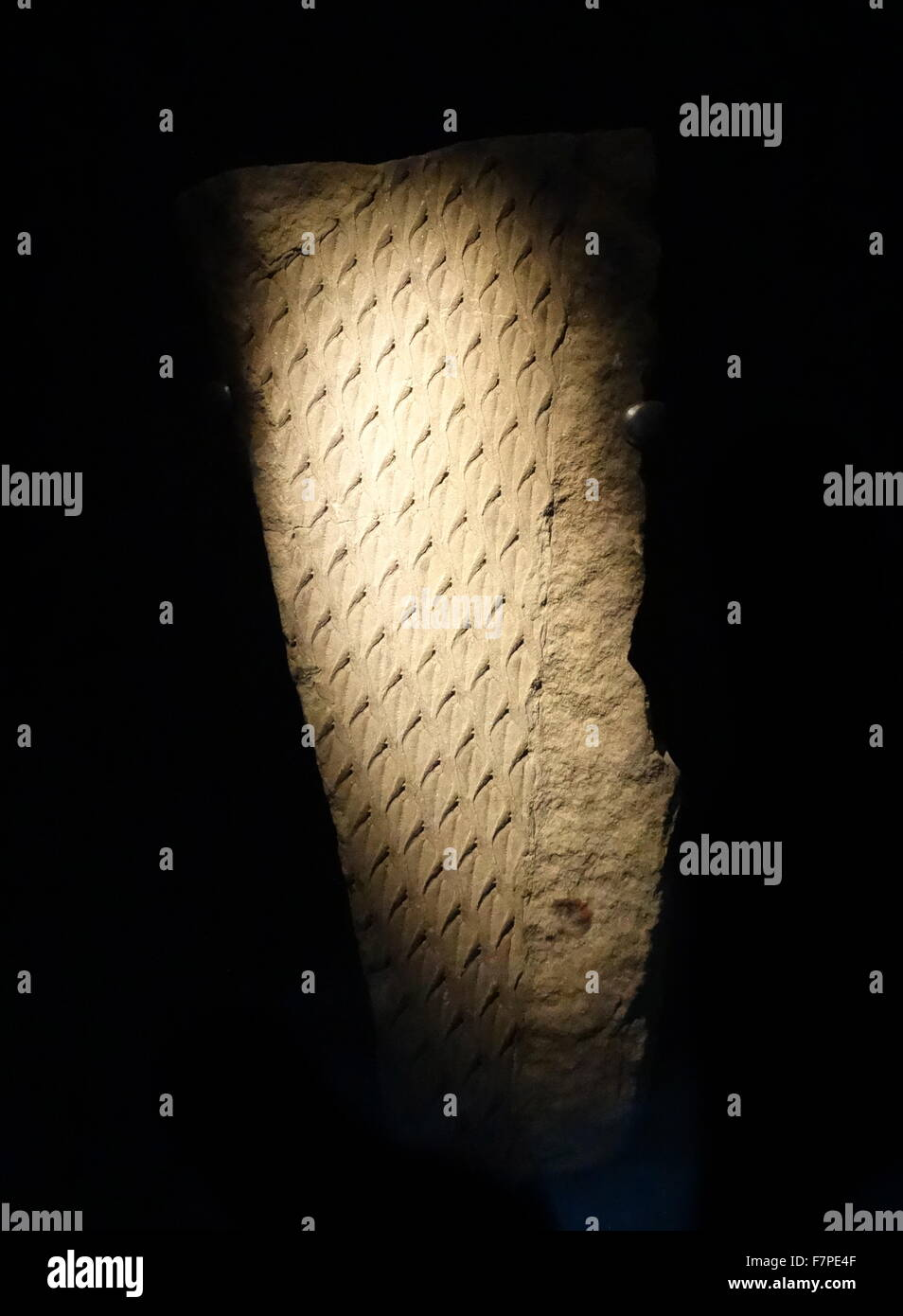 Fossil leaf scars (Lepidodendron aculeatum Sternberg Carboniferous Coal Measures. Stock Photo