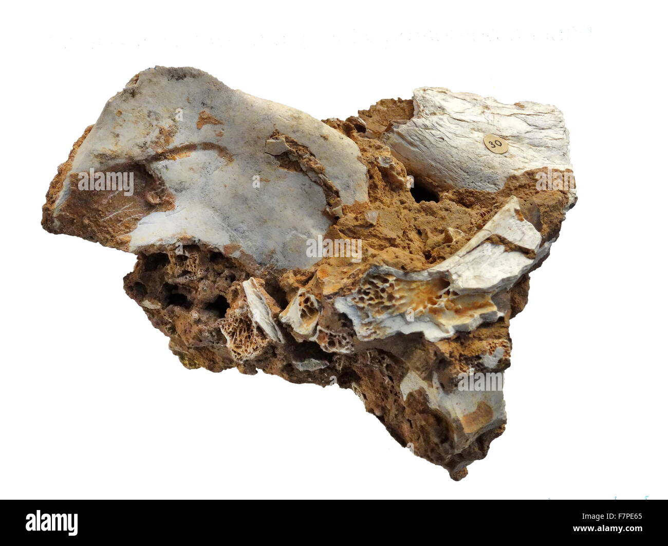 Bones and teeth of an antelope preserved in rock, from a cave floor in the Balearic Islands. Dated 2015 - Stock Image