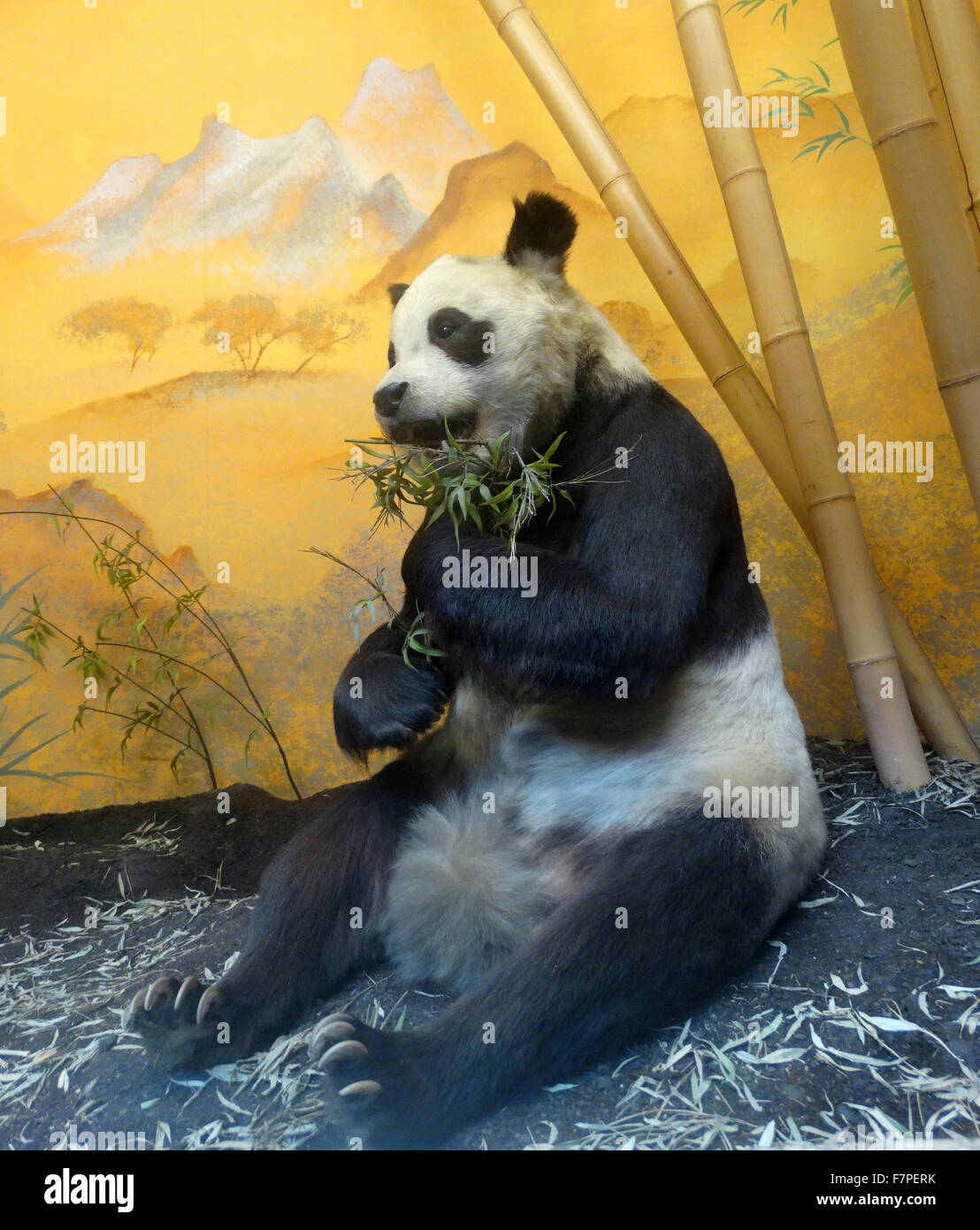 Stuffed and preserved remains of Chi Chi the Panda gifted by China to the United Kingdom. Dated 1958 - Stock Image