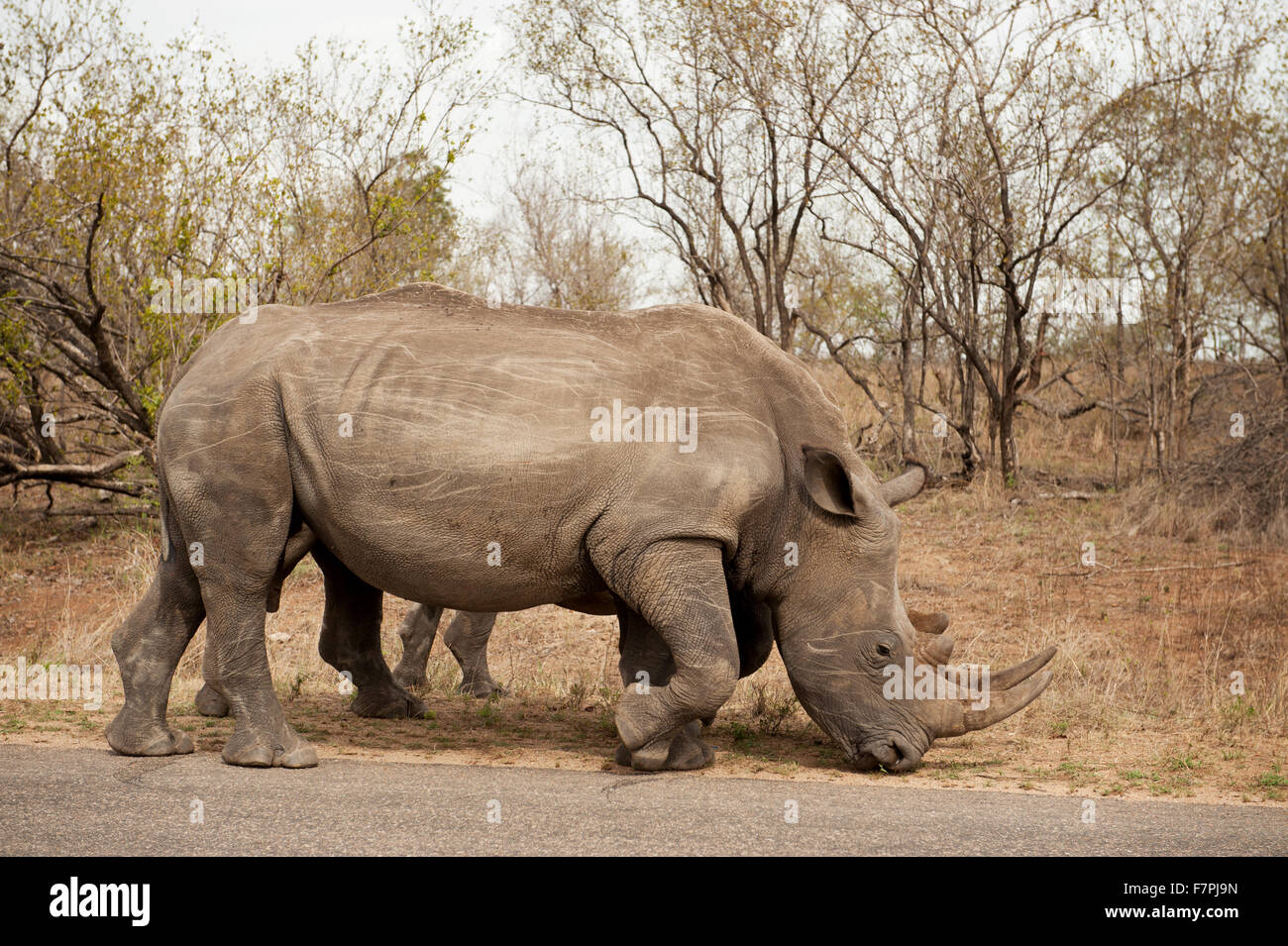 Rhinoceros graze by the side of the road in Kruger National Park, South Africa - Stock Image