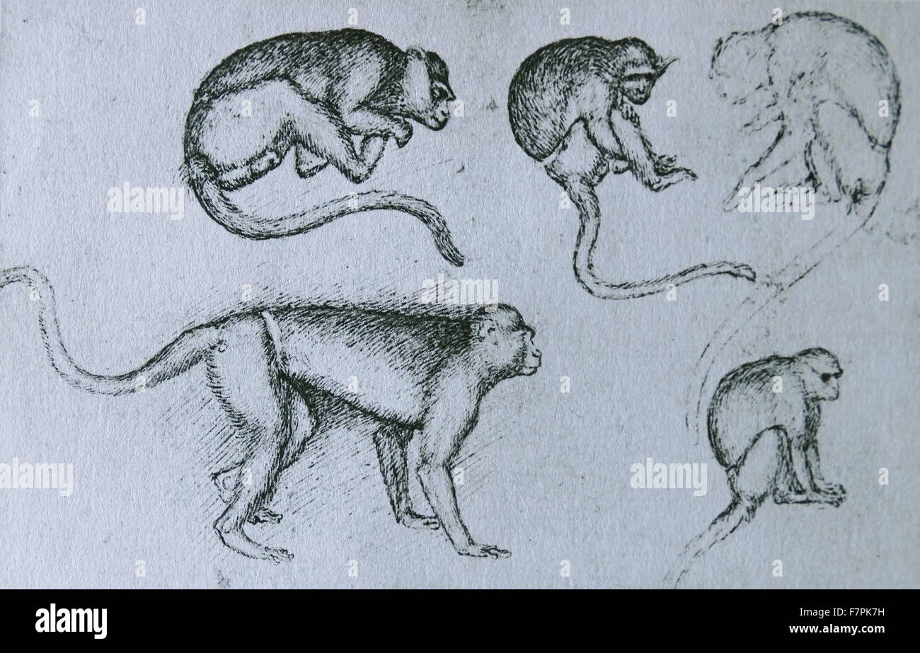Pen sketch on monkeys by Pisanello (1395-1455) painter of the early Italian Renaissance and Quattrocento. Dated - Stock Image