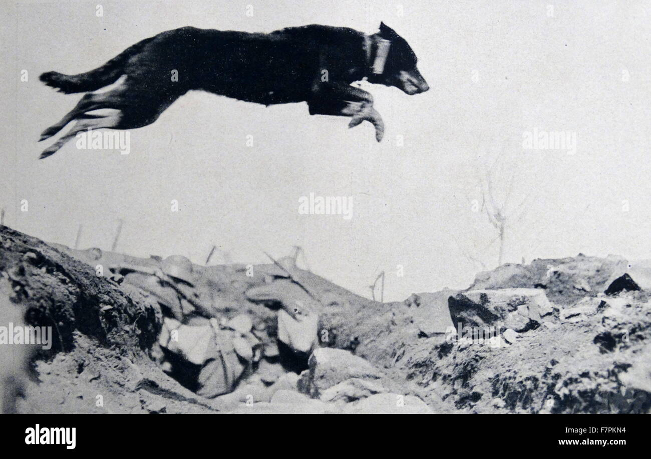 World war one: German army dog jumps across a trench in France carrying a message between outposts - Stock Image
