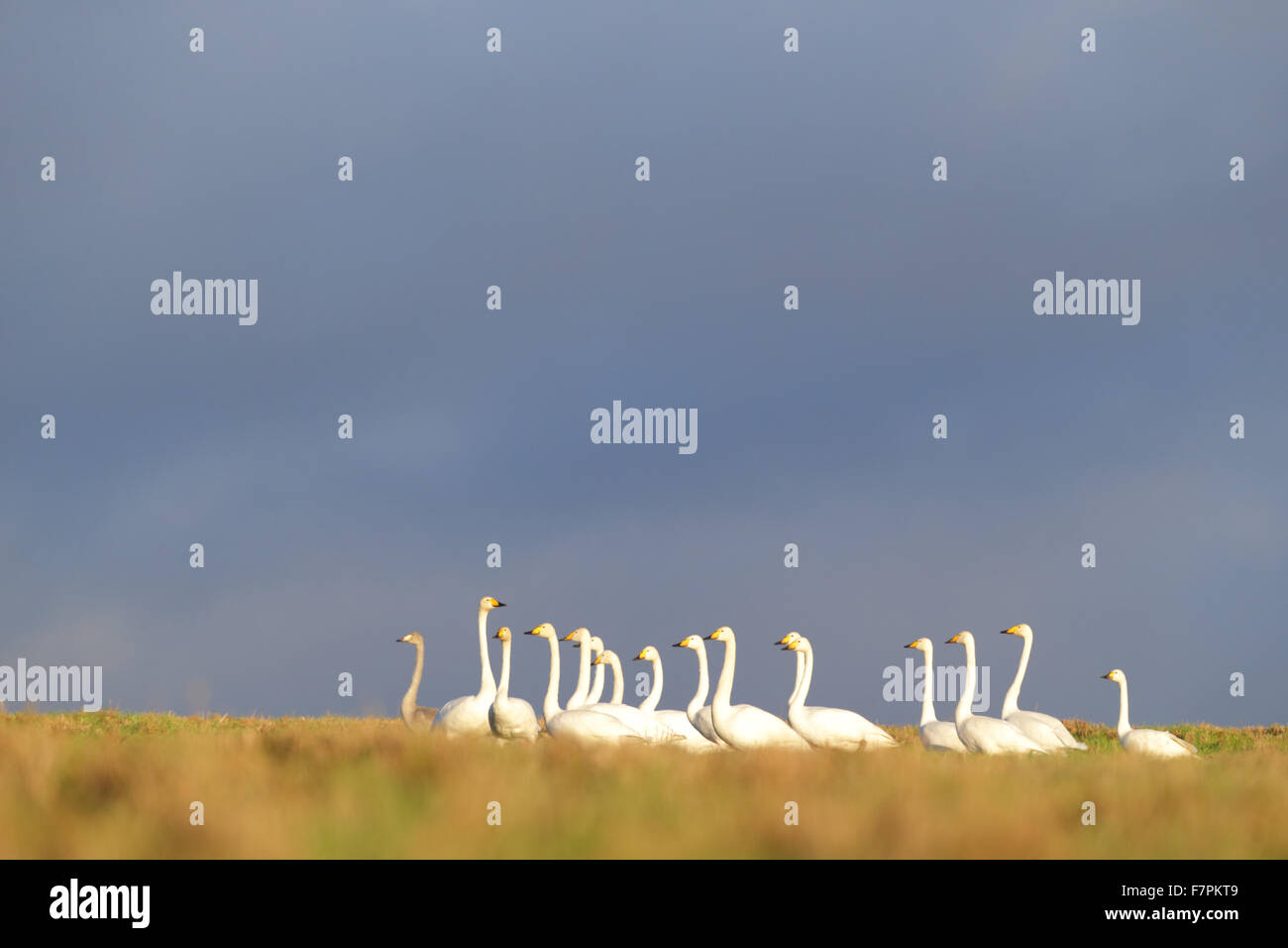 Flock of Whooper Swans with one Bewick's swan in autumn. Europe - Stock Image