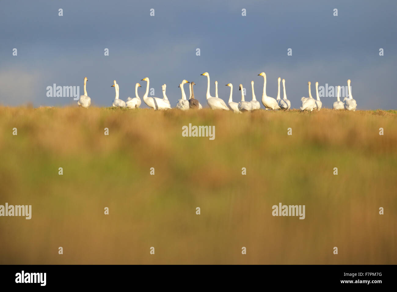 Flock of Whooper Swans with one Bewick's swan in autumn. Europe Stock Photo