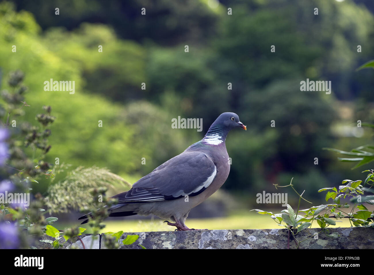Wood pigeon at Bodnant Garden, Clwyd, Wales. Created by five generations of one family, Bodnant sits perfectly within - Stock Image