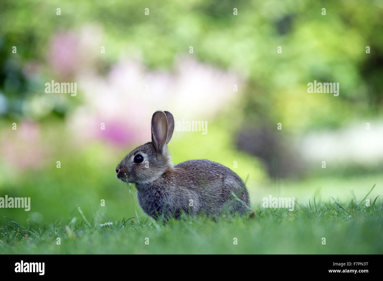 Wild rabbit at Bodnant Garden, Clwyd, Wales. Created by five generations of one family, Bodnant sits perfectly within Stock Photo